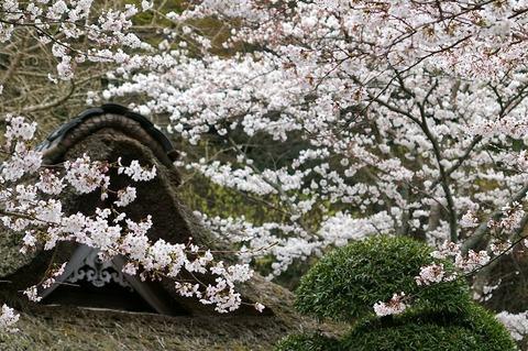Hokokujisakura1104072