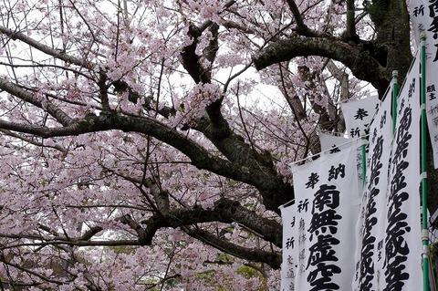 Kokuzodosakura110410