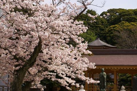 Komyojisakura1104113