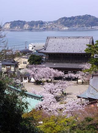 Komyojisakura1104115