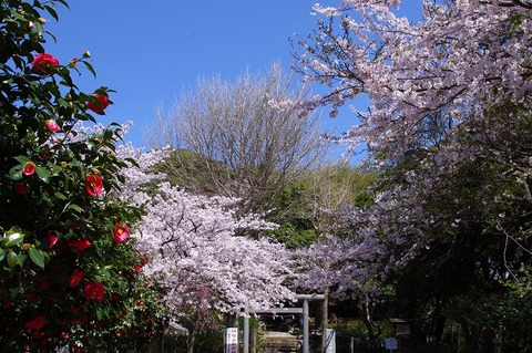 Genjiyamasakura110412