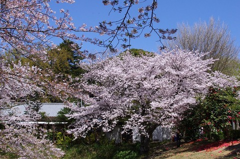 Genjiyamasakura1104122