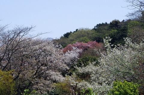 Genjiyamasakura1104125_2