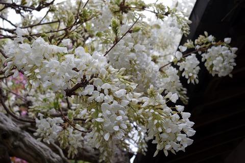 Hachimangusirofuji110422