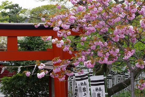 Hachimanguyaezakura110422