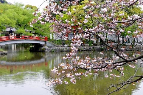 Hachimanguyaezakura1104223