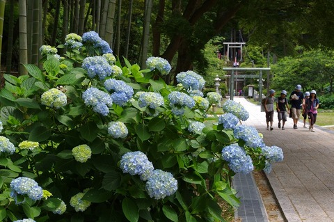 Kenchojiajisai110610