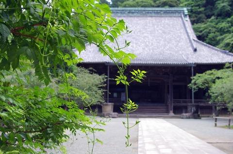 Myohonjinozenkazura110628