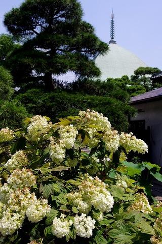Hongakujikasiwabaajisai110702