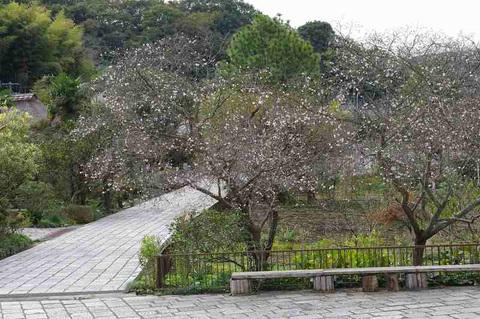Ryuhojifuyuzakura111109