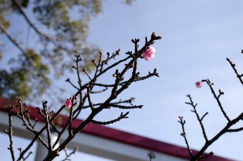Kamakuragukawaduzakura120125
