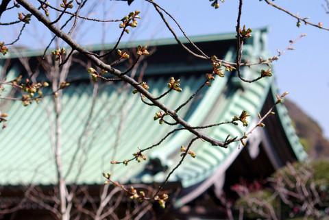 Hasederakawaduzakura120303
