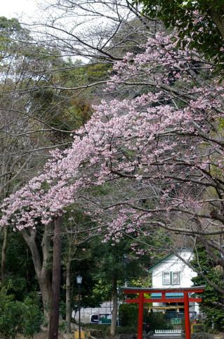 Hachimangusakura120316