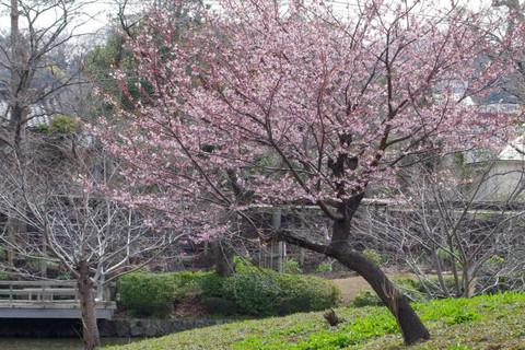Hachimangusakura1203162