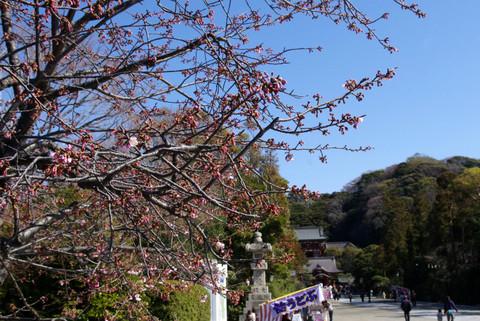 Hachimangukanzakura120327