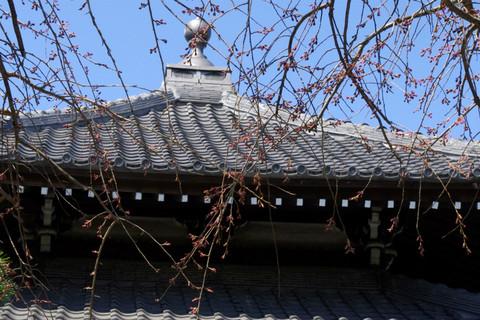 Hongakujisidarezakura120327