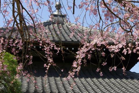 Hongakujisidarezakura120401
