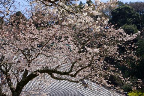 Myohonjisakura120405