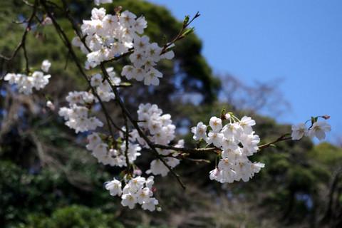 Myohonjisakura1204056