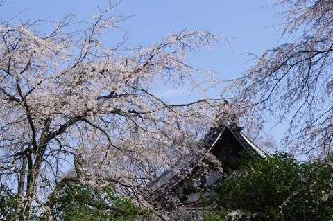 Ankokuronjisakura120406