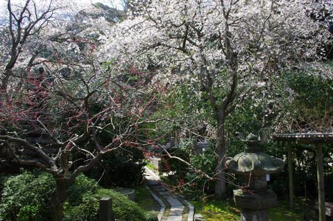 Ankokuronjisakura1204063