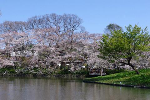 Hachimangusakura1204085