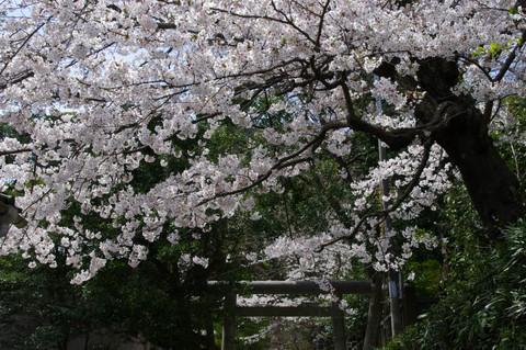 Goryojinjasakura1204102