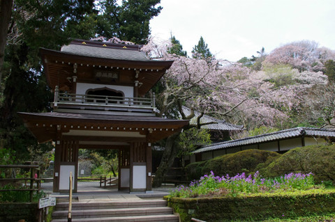 Jochijisidarezakura120410