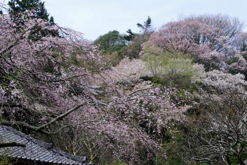 Jochijisidarezakura1204102