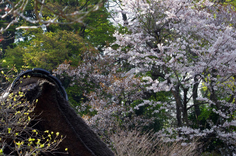 Tokeijisakura120410