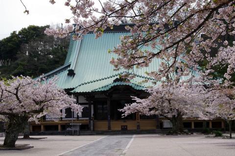 Komyojisakura120413