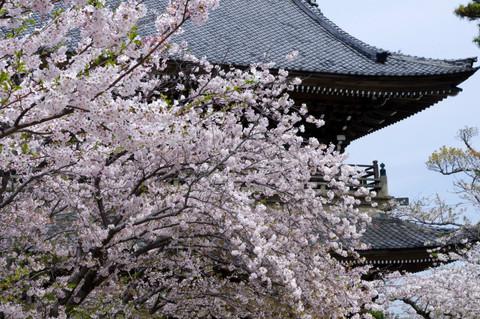 Komyojisakura1204132