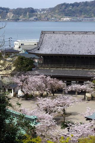 Komyojisakura1204135
