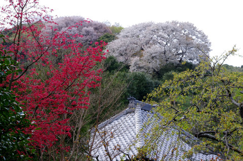 Kaizojiyamazakura120415