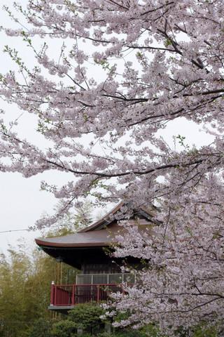 Ofunakannonsakura1204164