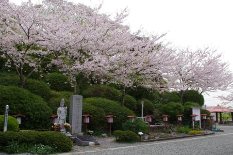 Ofunakannonsakura1204165