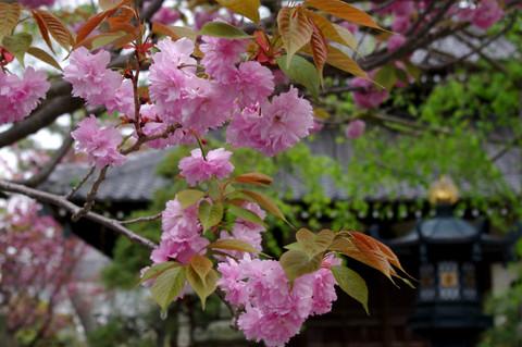 Hongakujiyaezakura120421
