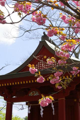 Hachimanguyaezakura1204242