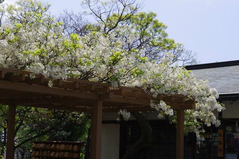 Hachimangufuji120429