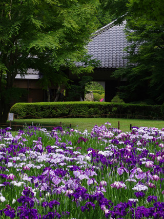 Meigetuinhanashobu1206072