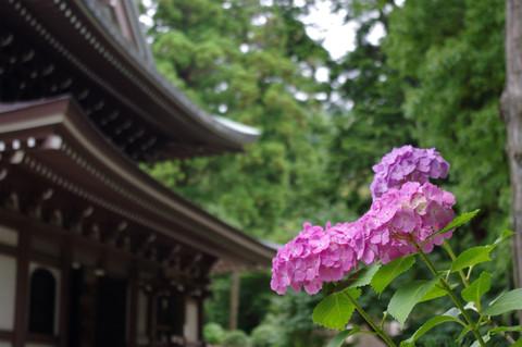 Engakujiajisai1206182