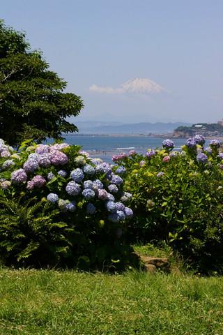 Fujiajisai070616