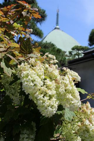 Hongakujiajisai120626