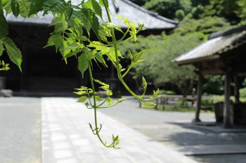 Myohonjinozenkazura120626