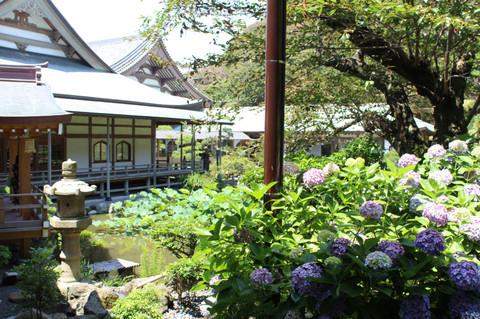 Komyojiajisai120709