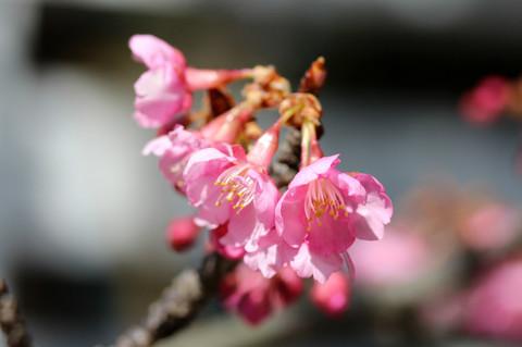 Kamakuragukawaduzakura1302242