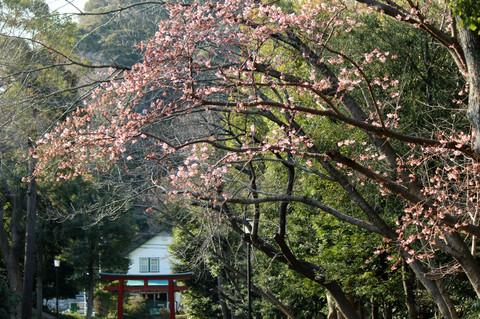 Hachimangusakura130304