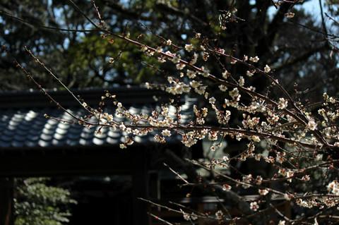 Kamakuraguume1303062