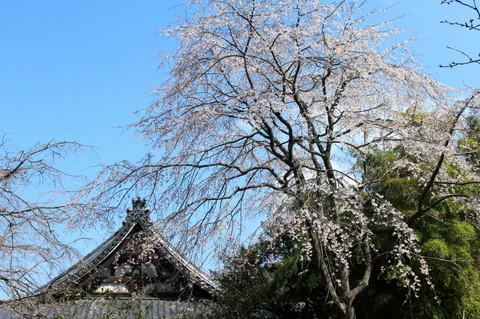 Ankokuronjisakura1303192