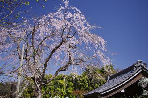 Koshojisidarezakura130321